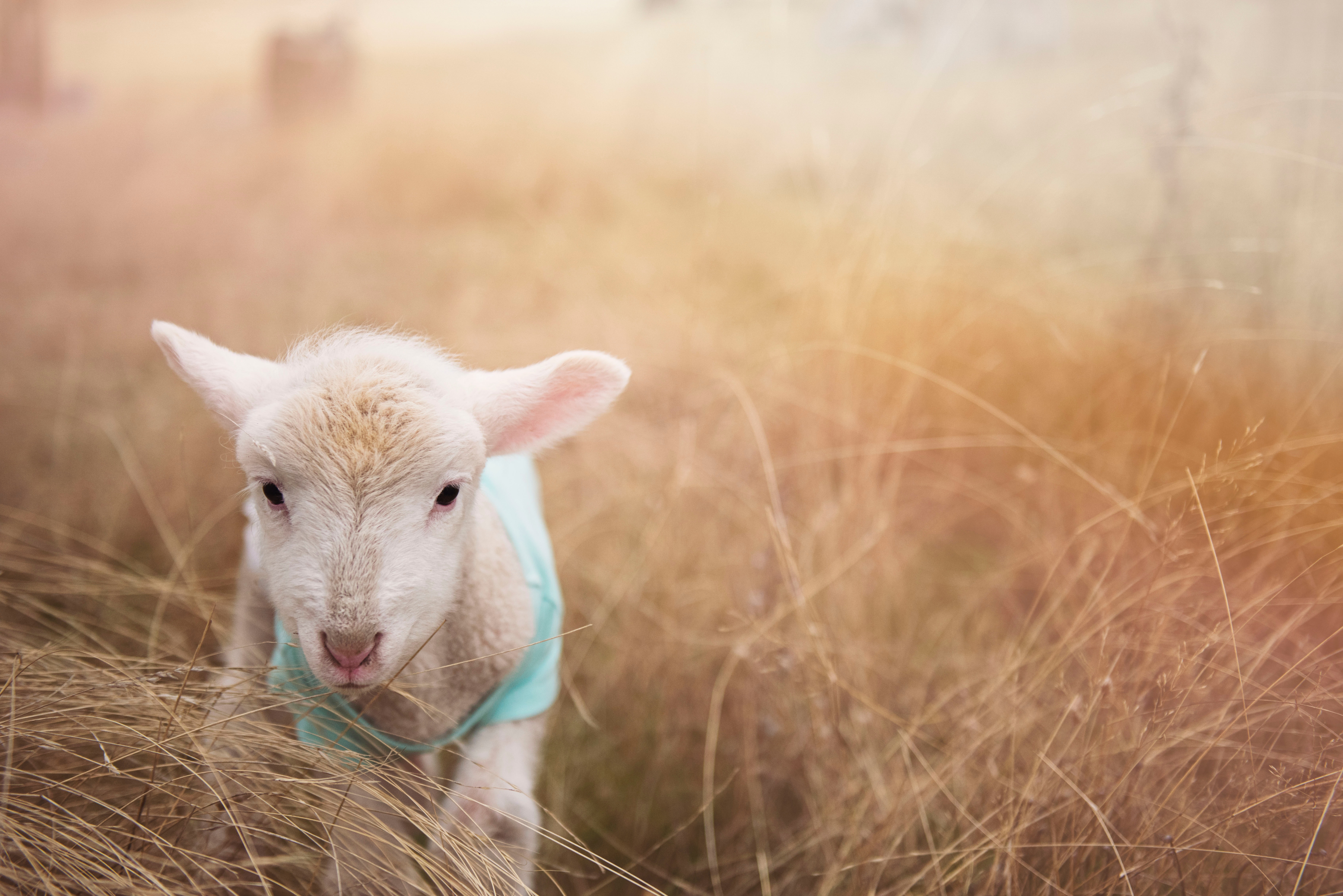 lost lamb technique